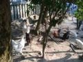 忌宮神社の鶏さん2